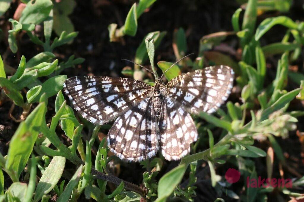 Пяденица клеверная, или пяденица решетчатая бабочки сибири новосибирская область