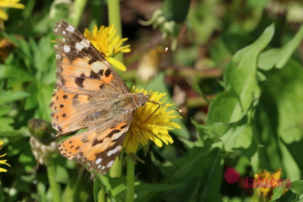 сибирские бабочки репейница
