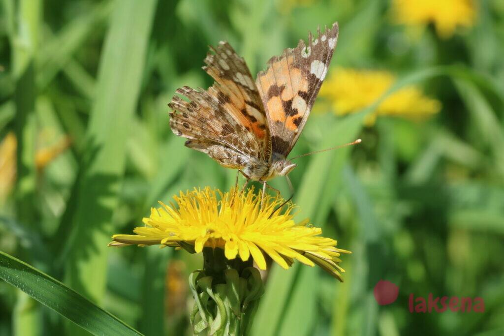 бабочка сибири репейница