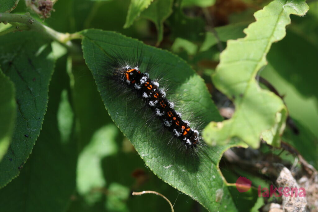 Волнянка сходная (желтогузка) бабочки сибири