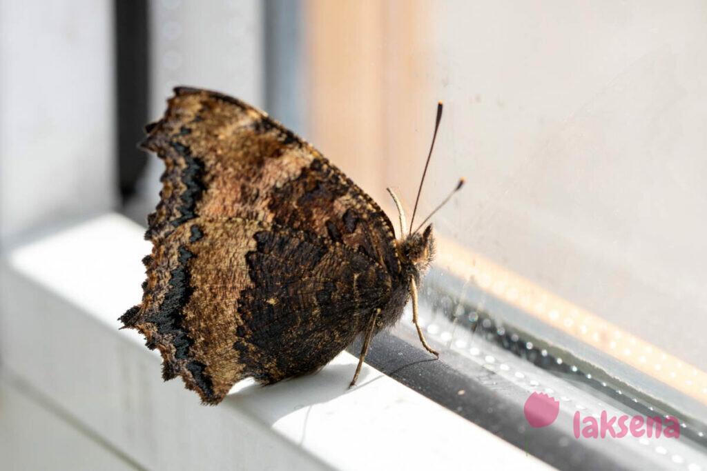 Крапивница большая, Ванесса чёрно-рыжая, или Многоцветница чёрно-жёлтая (лат. Nymphalis xanthomelas) бабочки сибирь новосибирск