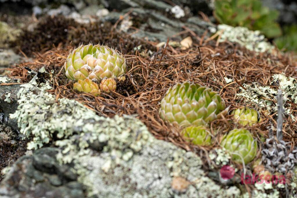 МОЛОДИЛО, живучка (Sempervivum)